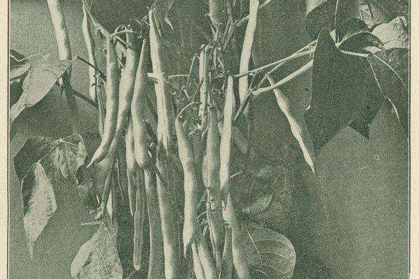 Wax beans, Thoroughbred Seeds, Geo. Tait & Sons, Norfolk, Va., 1911.